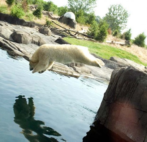 This undated photo provided by G. Jones for the Columbus Zoo and Aquarium shows a Polar bear  diving into the water at Columbus Zoo and Aquarium in Powell, Ohio.  Zoos across the country use shade, water and every conceivable form of cooling machine to help hundreds of thousands of animals, visitors and workers beat the heat every summer.    (AP Photo/G. Jones, Columbus Zoo and Aquarium)  NO SALES