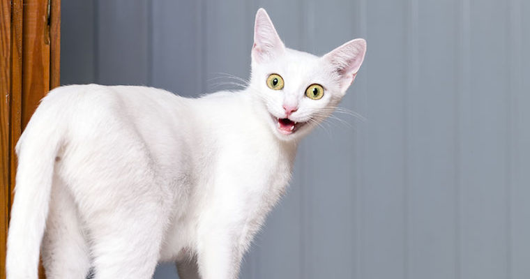 46447900 - funny evil white cat with open mouth