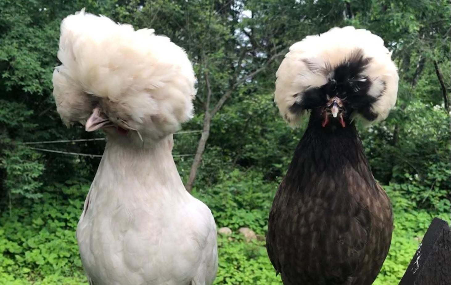 Sroka's award winning chickens