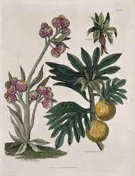 A photo of Mandrakes via Wikimedia Commons.